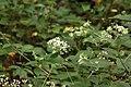Ageratina altissima SCA-5481.jpg