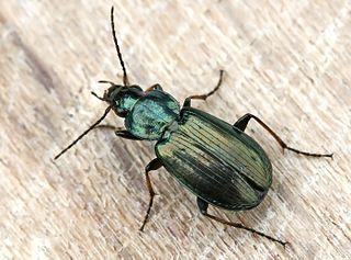 Platyninae Subfamily of beetles