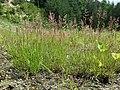 Agrostis stolonifera sl10.jpg
