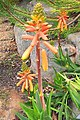 Agulhas Aloe - A juddii - Cape 5.jpg