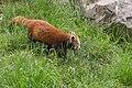 Ailurus fulgens (Panda roux) - 128.jpg