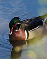 Aix sponsa -Ottawa River, near Lincoln Heights, Ottawa, Canada -male-8.jpg