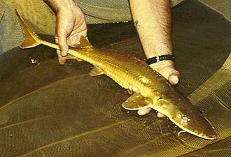 Alabama sturgeon - Image: Alabama Sturgeon