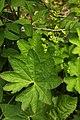 Alchemilla acutiloba leaf (15).jpg