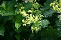 Alchemilla mollis inflorescence 001