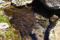 Algues a la cala de Llebeig.JPG