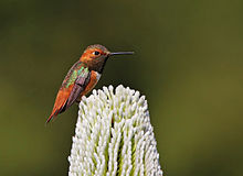 Allen's Hummingbird Guarding Flower Patch.jpg