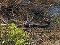 Alligator in Shark Valley^ - panoramio.jpg