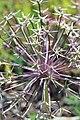 Allium christophii Trautv.-1F.JPG