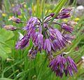 Allium cyathophorum farreri 2.JPG