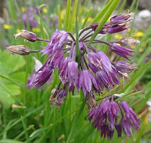 Flowers of Allium farreri