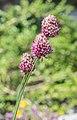 Allium sphaerocephalum in Jardin des 5 sens (2).jpg