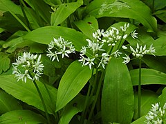 Allium ursinum 2 RF.jpg