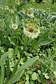 Allium victorialis kz01.jpg