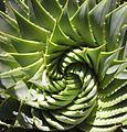 Aloe polyphylla.jpg