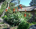 Aloes Jplm.jpg