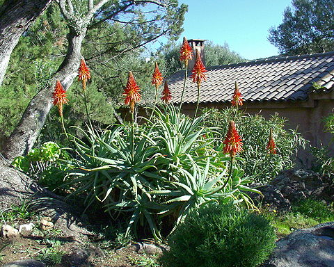http://upload.wikimedia.org/wikipedia/commons/thumb/a/a7/Aloes_Jplm.jpg/480px-Aloes_Jplm.jpg