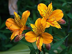 meaning of alstroemeria