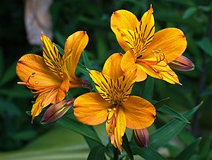 English: Alstroemeria aurantiaca in southern T...