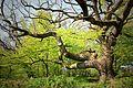 Alter Baum auf der Insel Vilm.jpg