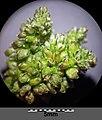 Amaranthus viridis sl32.jpg