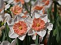 Amaryllidaceae Narcissus (Pyjama Party)1.jpg