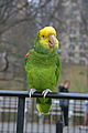 Amazona oratrix -perching on railing-8a.jpg