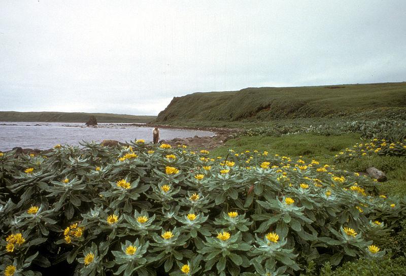 Amchitka Island, Beach Fleabane in full bloom - Senecio pseudo-arnica.jpg