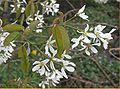 Amelanchier canadensis bloeiwijze.jpg