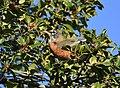 American Robin eating Holly berries (46382725311).jpg