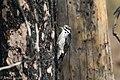 American Three-toed Woodpecker Signal Burn Gila NF NM 2017-10-18 09-04-10 (38363887604).jpg