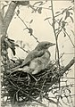 American birds, studied and photographed from life (1907) (14750155382).jpg