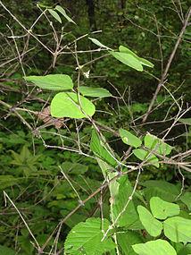 Amphicarpaea bracteata SCA-04710.jpg