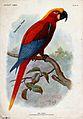 An extinct parrot, Ara gossei, perched on a branch. Colour h Wellcome V0022328.jpg