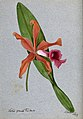 An orchid (Laelia grandis tenebrosa); flower and leaf. Water Wellcome V0043297.jpg