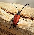Anastrangalia sanguinolenta, Cerambycidae, Lepturinae (29974437037).jpg