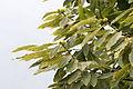 Anatolian sweet chestnut - Castanea sativa 02.jpg