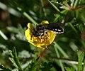 Andrena (Poliandrena) tarsata (Tormentil Mining Bee) male - Flickr - S. Rae.jpg