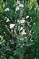 Anemone hupehensis Splendens 3zz.jpg