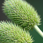 Anemone virginiana 3715.jpg
