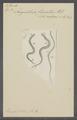 Anguillula fluviatilis - - Print - Iconographia Zoologica - Special Collections University of Amsterdam - UBAINV0274 104 02 0008.tif