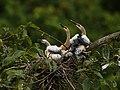 Anhinga anhinga (juveniles).jpg