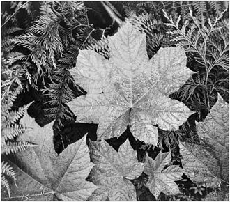 Ansel Adams - Close-up of leaves In Glacier National Park (1942)