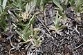 Antennaria dimorpha 7759.JPG