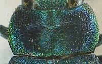 Anthaxia salicis detail1.jpg