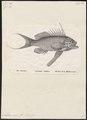 Anthias sacer - 1809-1845 - Print - Iconographia Zoologica - Special Collections University of Amsterdam - UBA01 IZ12900141.tif
