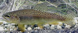 Apache trout Species of fish