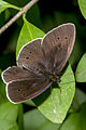Aphantopus hyperantus, Lodz(Poland)(js)02.jpg