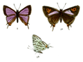 AphnaeusNipalicus 736 2 Fitch.png