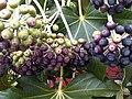 Apiales - Fatsia japonica 3.jpg